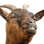 Cute brown goat?s grin